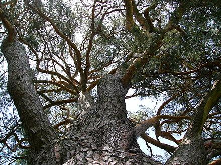 440px-strom_roka_borovica_velke_borove_03